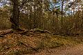 Nationaal Park Drents-Friese Wold. Locatie Dieverzand. Dode boom, belangrijke voedselbron in evenwichtig biotoop 03.jpg