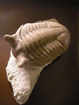 Arenig - Asaphus