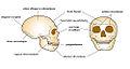 Neandertal caractères crâniens.jpg