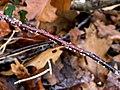 Nectria cinnabarina 61507843.jpg