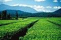 Nerada Tea Plantation at Glen Allyn on the Atherton Tableland, 1986.jpg