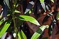 Nerium oleander 18zz.jpg