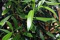 Nerium oleander 19zz.jpg