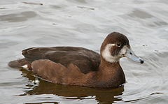 Netta erythrophthalma Germany01.jpg