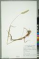 Neuchâtel Herbarium - Alopecurus pratensis - NEU000100154.jpg