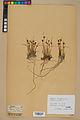 Neuchâtel Herbarium - Juncus jacquinii - NEU000044964.jpg