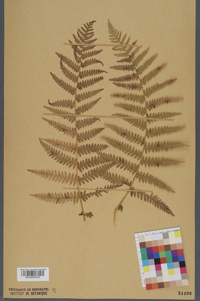 File:Neuchâtel Herbarium - Pteridium aquilinum - NEU000000759.tiff
