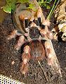 Nhandu coloratovillosus - subadult female 2.jpg