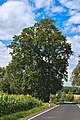Niederhofen natural monument oak.jpg