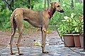 Nipper; 12 months old male Chippiparai dog 5.jpg
