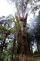 No.28 Giant Tree in Alishan.jpg