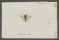 Nomada - Print - Iconographia Zoologica - Special Collections University of Amsterdam - UBAINV0274 045 08 0002.tif