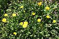 Nombreux pissenlits en fleur.jpg