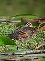 Nomonyx dominicus Pato enmascarado Masked Duck (females) (11331593676).jpg