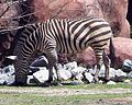 Norfolk Zoo Zebra.jpg