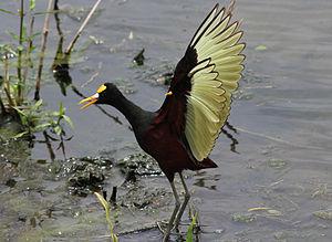 Northern jacana - Fortuna, Costa Rica