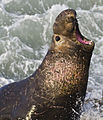 Northern Elephant Seal San Simeon2 cropped.jpg