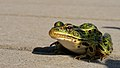 Northern Leopard Frog (29675215250).jpg