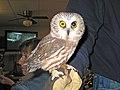 Northern Saw-whet Owl - Flickr - GregTheBusker.jpg