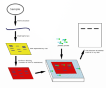 how to read a northern blot