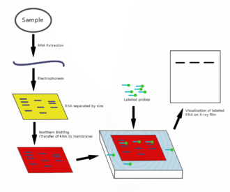 Northern blot - Flow diagram outlining the general procedure for RNA detection by northern blotting.