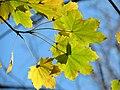 Norway Maple (31016265795).jpg