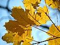 Norway Maple (31028979111).jpg