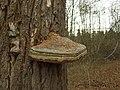 Nový Dům, Zajíčkovna, dřevokazná houba.jpg