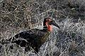 Nw 9786 ground hornbill Kruger JF.jpg