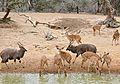 Nyalas (Tragelaphus angasii) at waterhole ... (32088731531).jpg