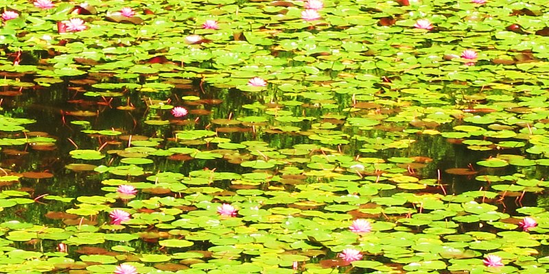 File:Nymphae as Monet would see them - panoramio.jpg