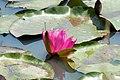 Nymphaea George L. Thomas 2zz.jpg