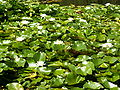 Nymphaea alba 26-8-2007 15-14-20.JPG