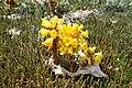 O Bao, Cistanche phelypaea 01-05b.jpg