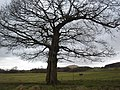 Oak tree near Wilderswood - geograph.org.uk - 123057.jpg