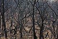Oak trees that where severely damaged in a wildfire that occurred three weeks earlier. (25117003305).jpg
