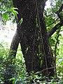 Oberonia verticillata-2-muluvi-yercaud-salem-India.jpg