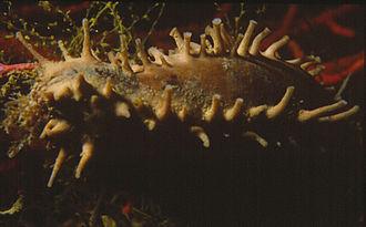 Ocnus (sea cucumber) - Ocnus planci