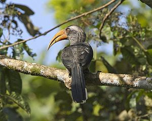 Thattekad Bird Sanctuary - A Malabar grey hornbill at Thattekkad