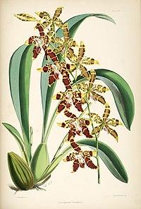 Odontoglossum spectatissimum (as Odontoglossum triumphans) - pl. 23 - Bateman, Monogr.Odont