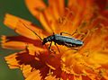 Oedemera lurida on Orange Hawkweed (9249177486).jpg