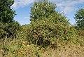 Old Orchard, Southfield Farm - geograph.org.uk - 1459771.jpg