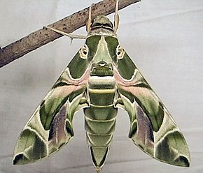 Description de l'image Oleander hawkmoth up.jpg.
