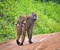 Olive Baboons, Uganda (23625755046).jpg