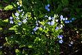 Omphalodes verna in a garden.jpg
