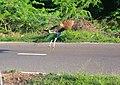 One of the beautiful peacock crossed my DSLR.jpg