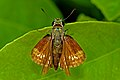 Open wing busking of Parnara spp. – Parnara Swift spp ( Parnara guttatus mangala Moore, 1865 – Himalayan Straight Swift ) WLB DSC 9329.jpg