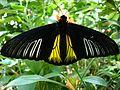 Open wing position of Troides helena Linnaeus, 1758 – Common Birdwing Key West 2008 (2338623050).jpg