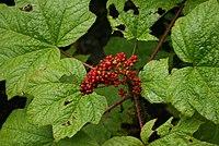 Oplopanax-horridus-berries