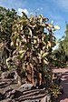 Opuntia echios - Jardín Botánico Canario Viera y Clavijo - Gran Canaria.jpg